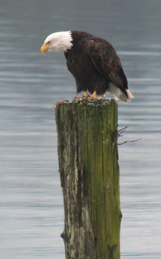 bald eagle on dock post - comox - british columbia 2