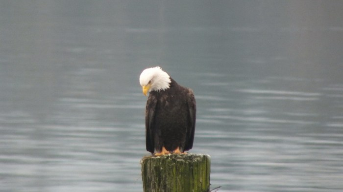 bald eagleon dock post - comox - british columbia 1