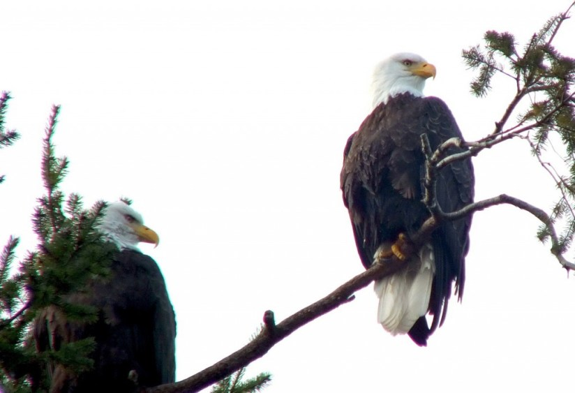 Two bald eagles sitting in a tree at Deep Bay, Vancouver Island, British Columbia
