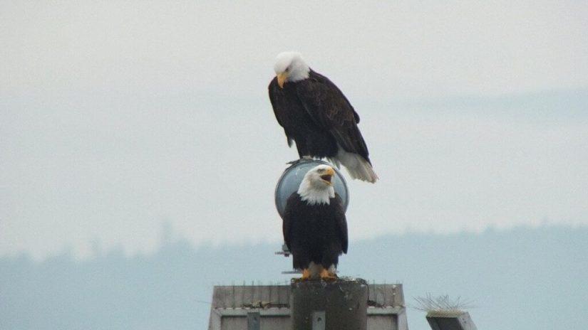 bald eagles on navigational beacon - comox - british columbia 10