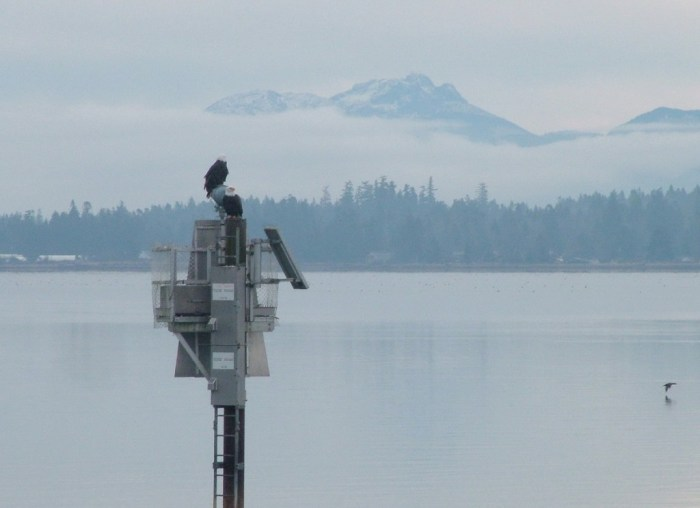bald eagles on navigational beacon - comox - british columbia 2