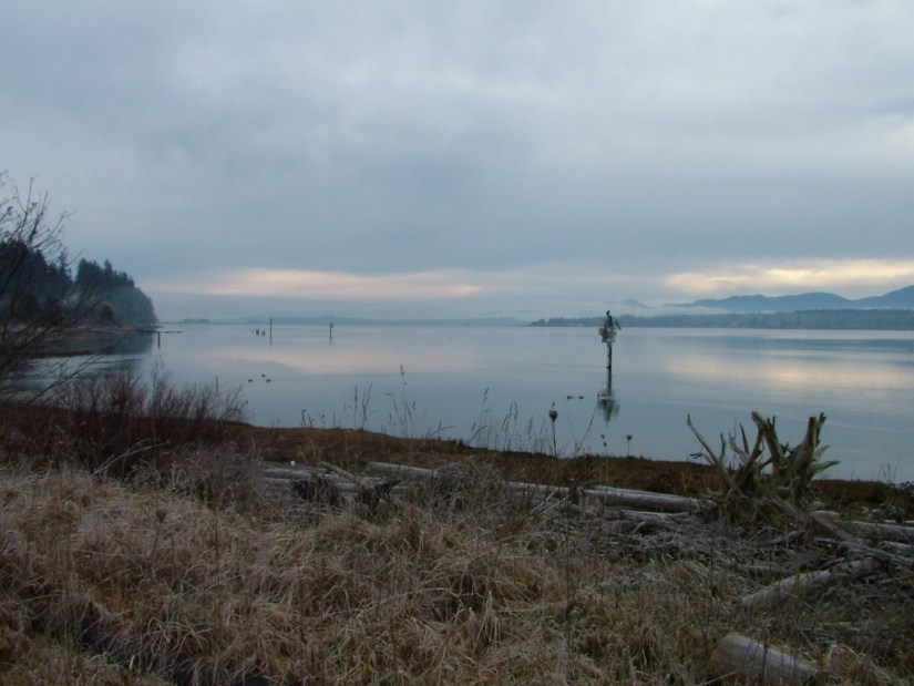 bald eagles on navigational beacon - comox - british columbia 3