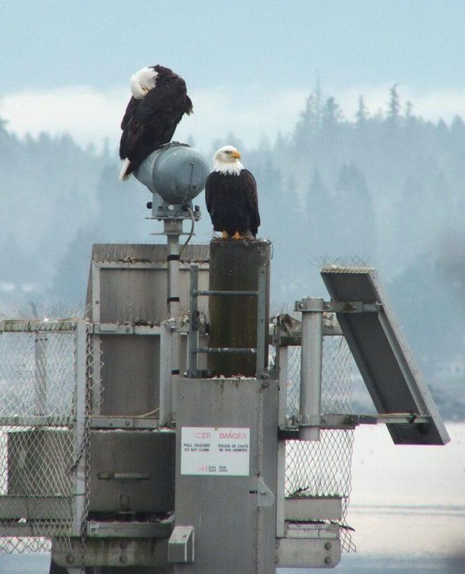 bald eagles on navigational beacon - comox - british columbia 5