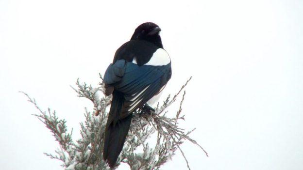 black-billed magpie on snowy tree - kamloops - british columbia 2