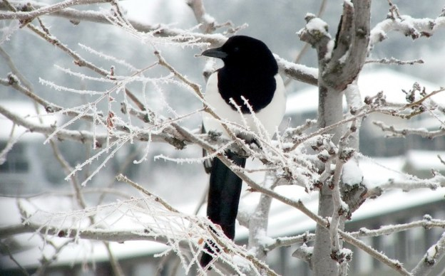 black-billed magpie sitting in tree - british columbia