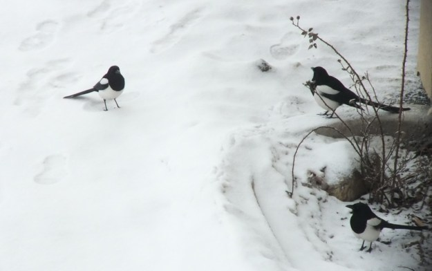 black-billed magpies - kamloops - british columbia