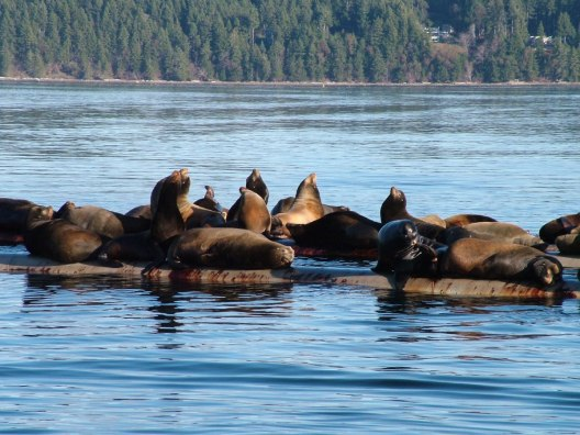 california sea lions - fanny bay 11