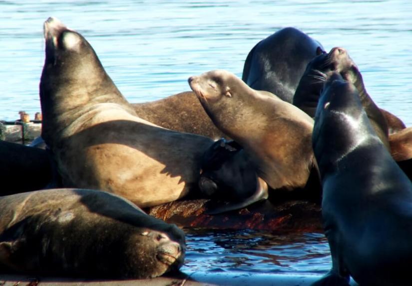 California Sea lions in Fanny Bay on Vancouver Island in B.C., Canada