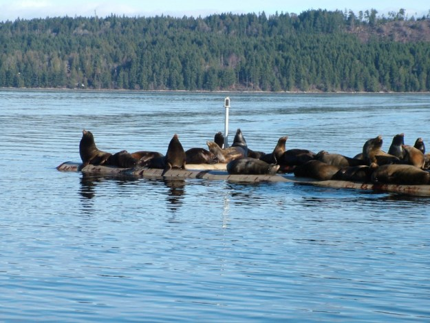 An image of California Sea Lions rest in the sun on a float platform in Fanny Bay on Vancouver Island. Photography by Frame To Frame - Bob and Jean.