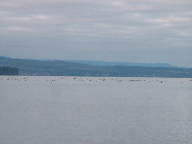 Birds on Salish Sea near Deep Bay off Vancouver Island, British Columbia