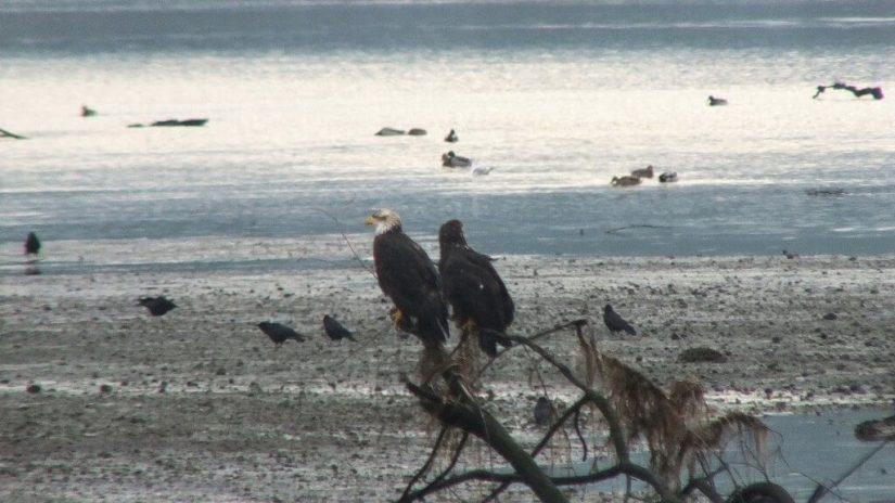 junior bald eagles on tree - comox - british columbia 1