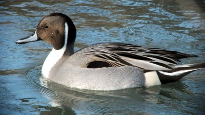 northern pintail duck - reifel migratory sanctuary 1
