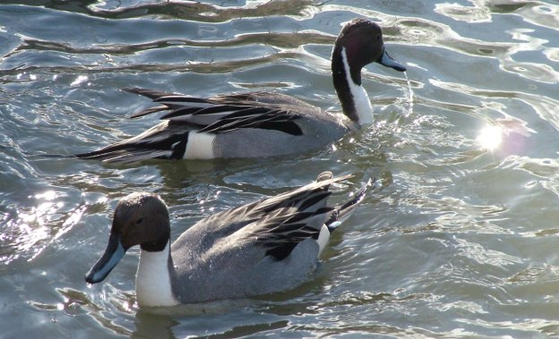 Northern pintail ducks  at Reifel Migratory Bird Sanctuary in Delta, BC, Canada.