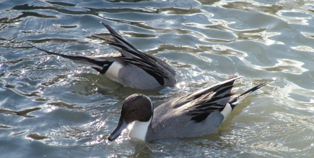Northern pintail duck diving at Reifel Migratory Bird Sanctuary in Delta, BC, Canada.