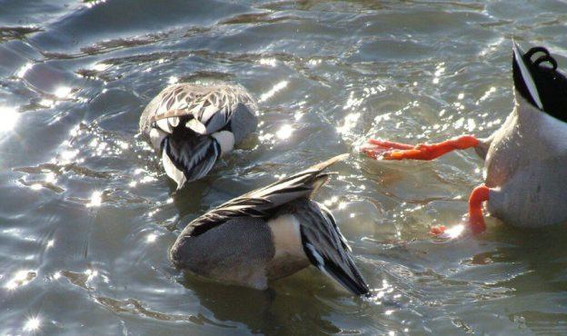 northern pintail ducks - reifel migratory sanctuary 14