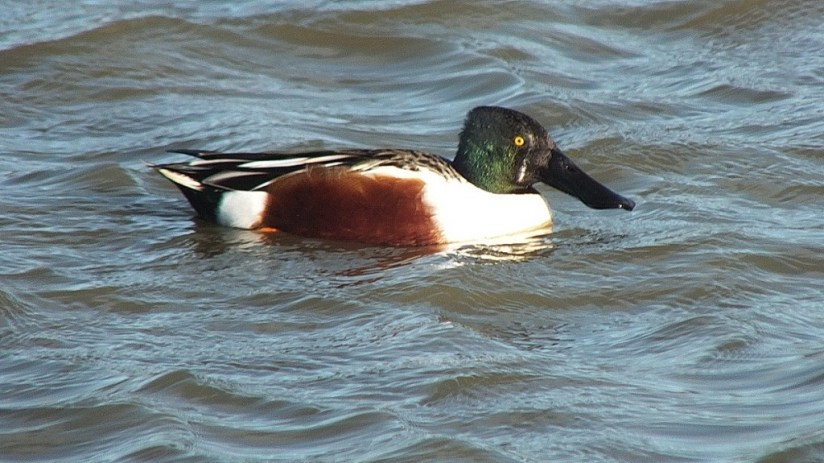 Northern Shoveler duck at Reifel Migratory Bird Sanctuary in Delta, BC, Canada.