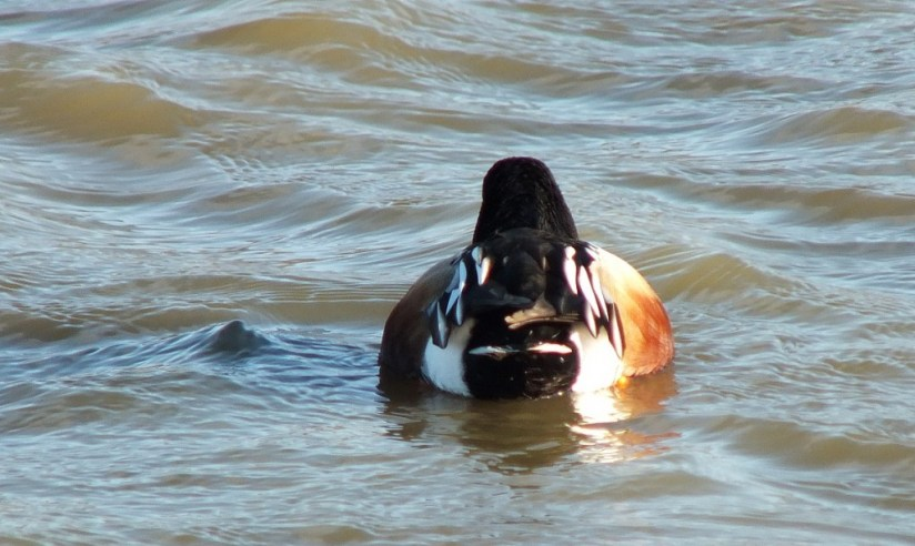 northern shoveler tail - male - reifel migratory bird sanctuary