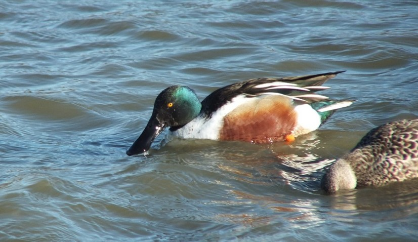 Northern shoveler ducks at Reifel Migratory Bird Sanctuary in Delta, BC, Canada.