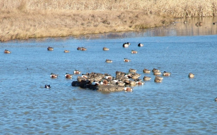 Migrating ducks at Reifel Migratory Bird Sanctuary in Delta, BC, Canada.