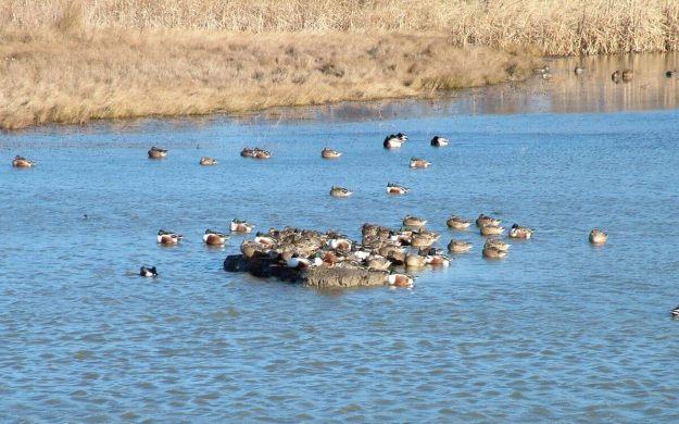 Migrating ducks at Reifel Migratory Bird Sanctuary in Delta, BC, Canada.