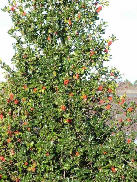 red holly bush - delta - bc