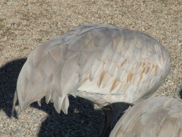 An image of the feathers on the back of a Sandhill crane at the Reifel Migratory Bird Sanctuary in Delta, British Columbia.