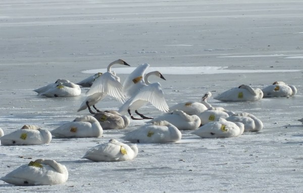 trumpeter swan holds up wings on ice - la salle park - burlington - ontario 3