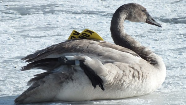 trumpeter swan lifts up foot on ice - la salle park - burlington - 2