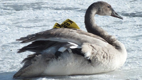 trumpeter swan lifts up foot on ice - la salle park - burlington - 3