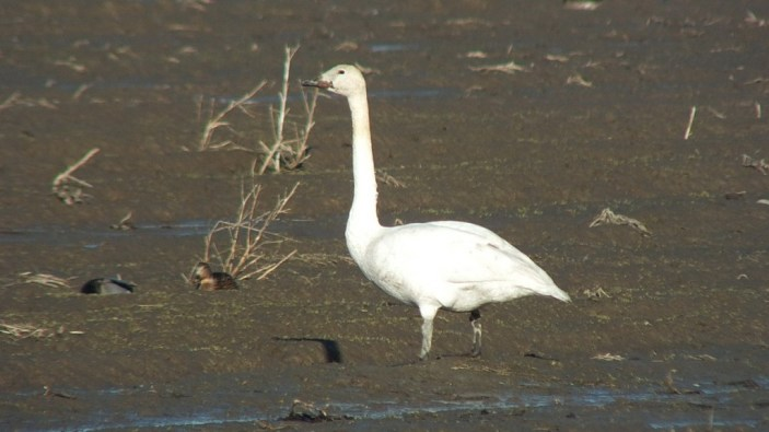trumpeter swan on delta farmland - BC