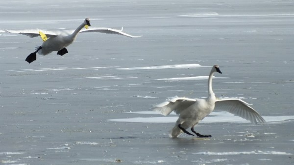 trumpeter swan prepares land on ice at la salle park - burlington - ontario