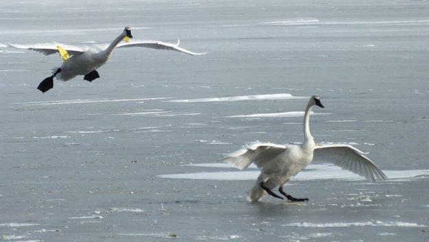 Trumpeter swans landing on the ice at La Salle Park, in Burlington, Ontario
