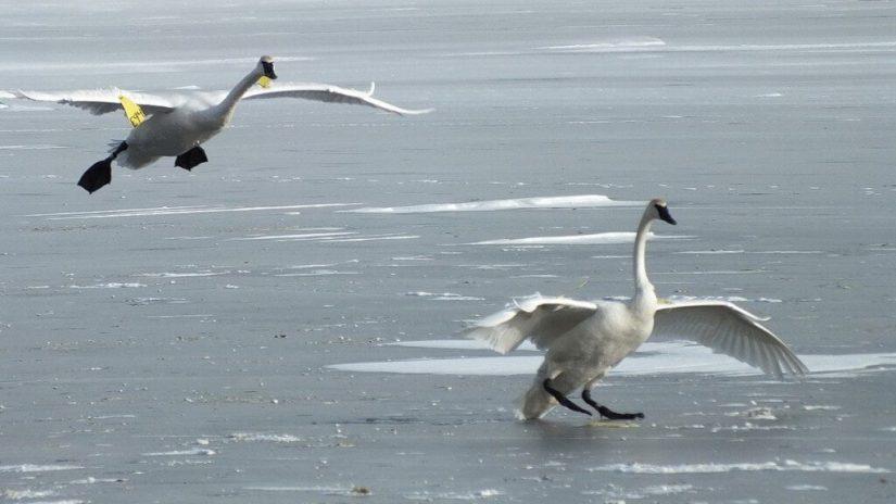 trumpeter swan prepares land on ice at la salle park - burlington - ontario