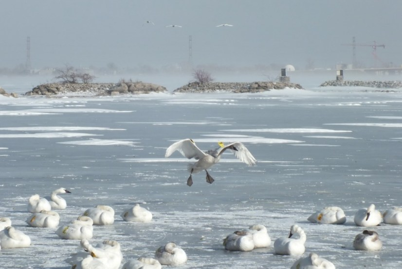 Trumpeter swan prepares to land among swans on the ice at La Salle Park in Burlington, Ontario