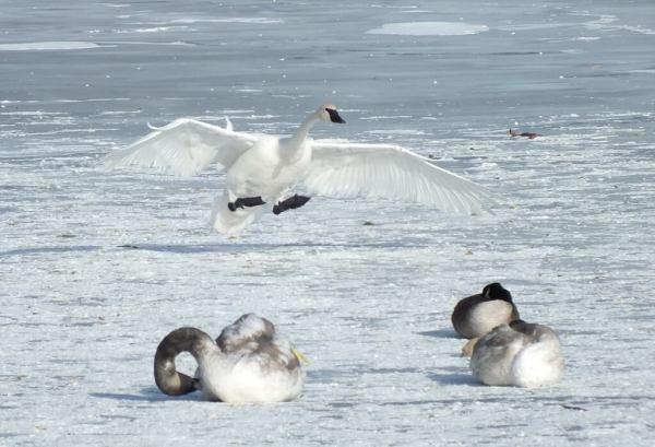 trumpeter swan prepares to land on ice - la salle park - burlington - ontario