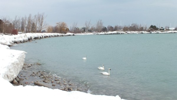 trumpeter swans at bluffers park - toronto 2