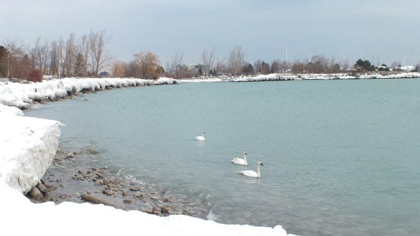 Trumpeter swans in the winter at Bluffers Park, Toronto, Ontario, Canada