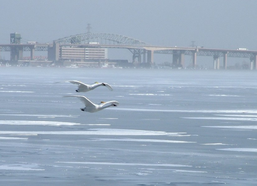 Trumpeter swans flying over the ice in Burlington Bay in the winter off La Salle Park, in Burlington, Ontario