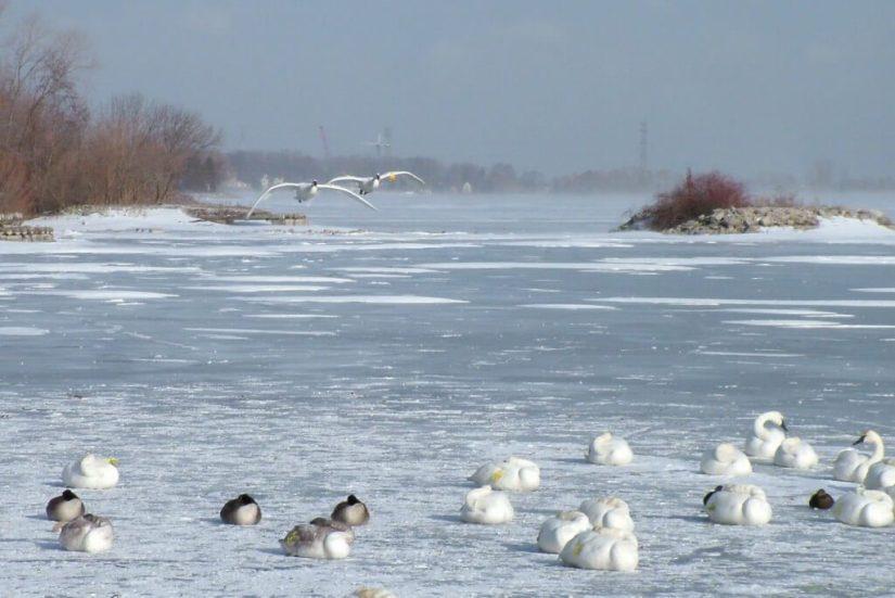 trumpeter swans in flight at la salle park - burlington