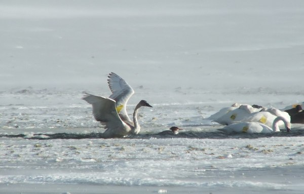 trumpeter swans in icy water - la salle park - burlington - ontario 3