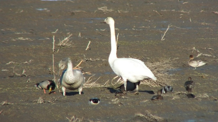 trumpeter swans on delta farmland, british columbia