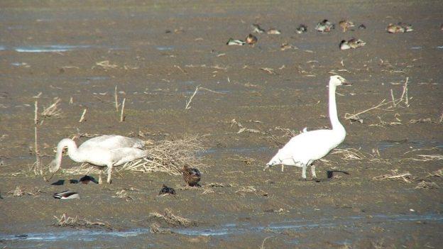 trumpeter swans on delta farmland - BC - 4