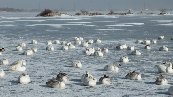 trumpeter swans on ice - la salle park - burlington