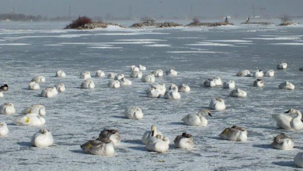 Trumpeter swans sitting on the ice at La Salle Park, in Burlington, Ontario