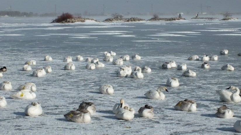 trumpeter swans on ice - la salle park - burlington
