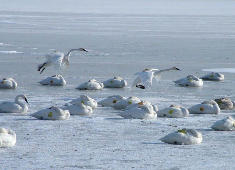 trumpeter swans prepare to land on ice - burlington bay - ontario 3