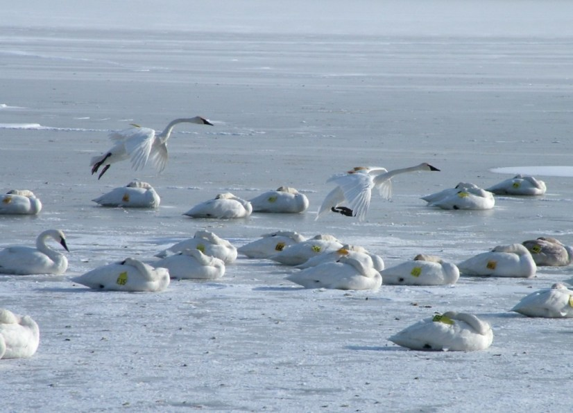 Trumpeter swans landing on the ice at La Salle Park in Burlington, Ontario