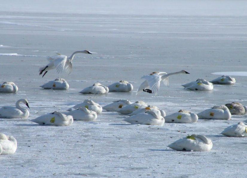 Trumpeter swans landing on the ice at La Salle Park in Burlington, Ontario