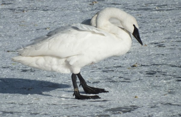 trumpeter swans stands on ice - la salle park - burlington