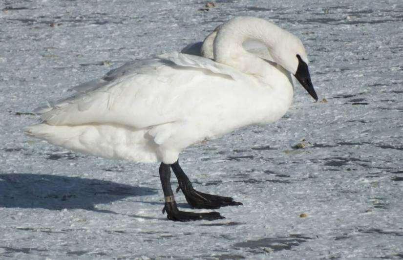 trumpeter swans stands on ice - la salle park - burlington